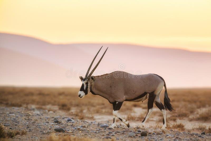 Oryx surafricano - gazella del gazella del Oryx fotos de archivo libres de regalías