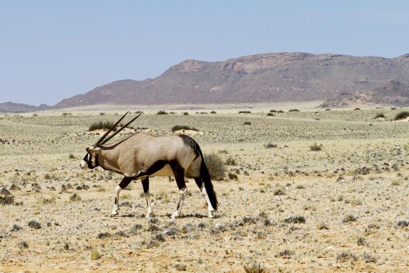 Oryx walking royalty free stock photography