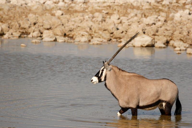 Oryx am waterhole lizenzfreies stockbild