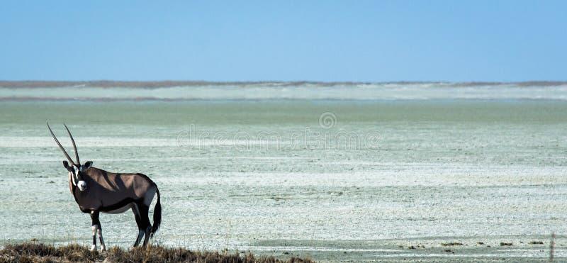 Oryxantilop framme av en namibisk saltlake fotografering för bildbyråer
