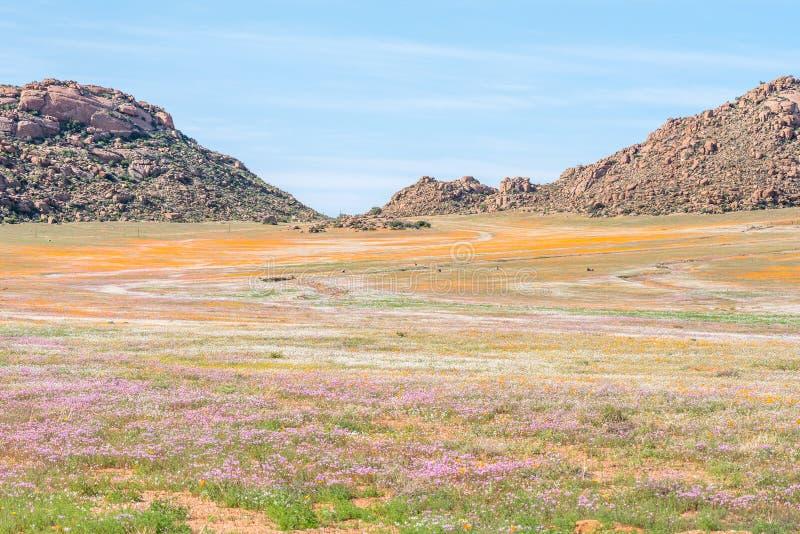 Oryxantilop i matta av blommor i Goegap naturreserv arkivfoto