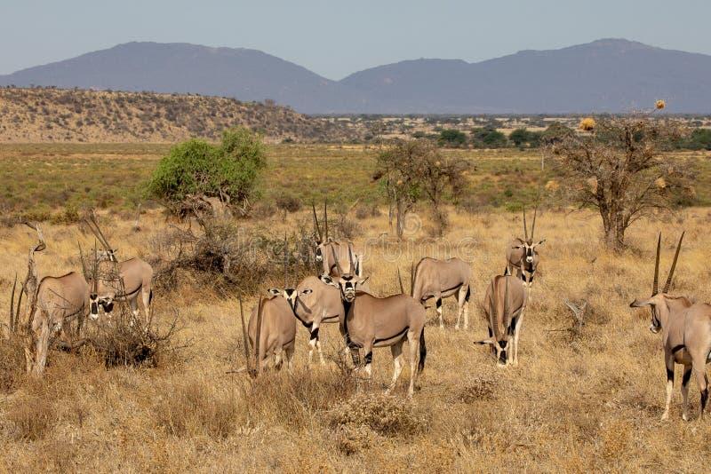 Oryxantilopflock, Kenya, Afrika royaltyfri bild
