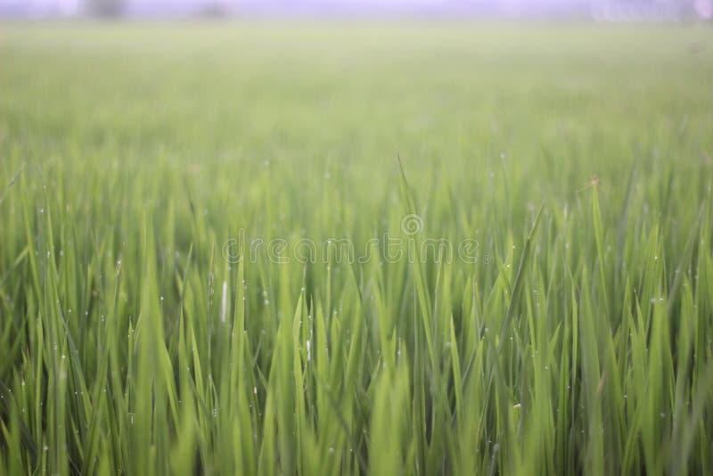 Oryza spp-Reis stockbild