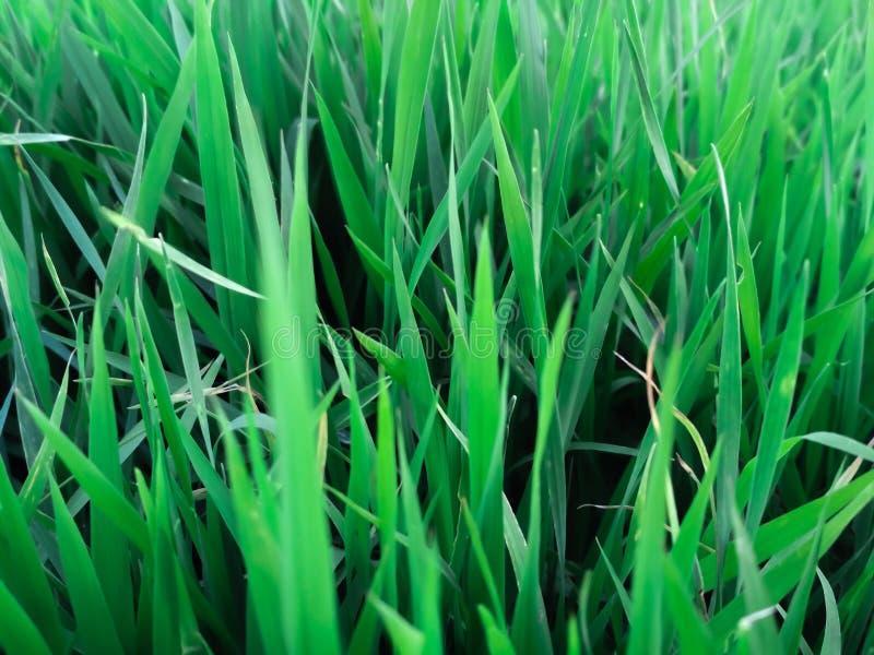 Oryzasativabettwäsche, Sämling bereit zur Verpflanzung stockbild