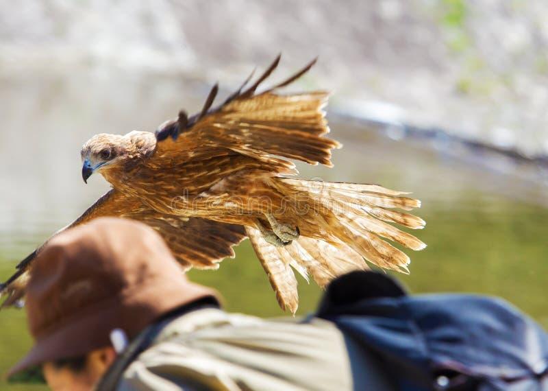 Orzeł flewing wewnątrz fotografia stock