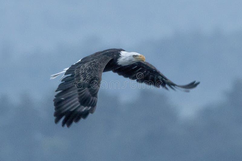 Orzeł latający fotografia royalty free