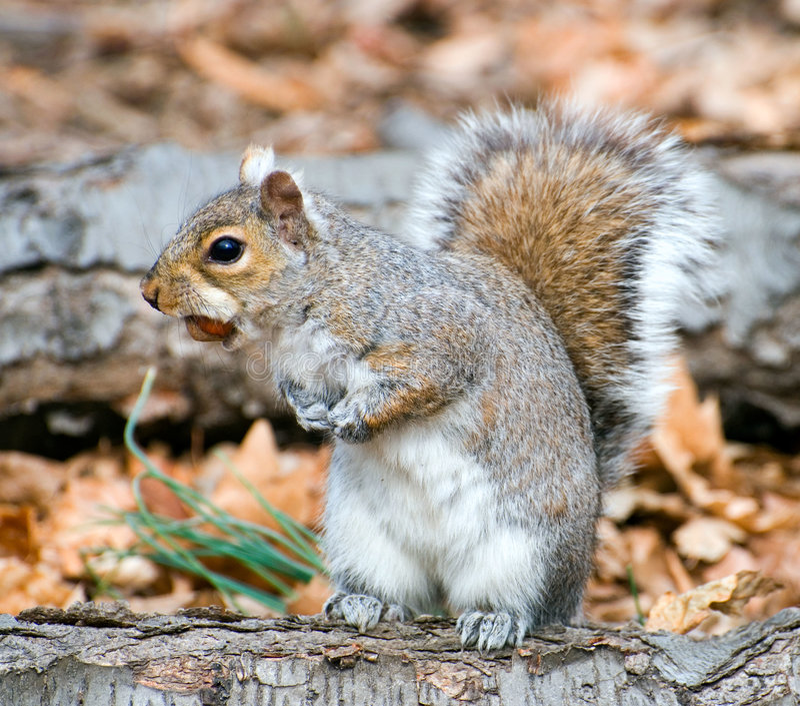 orzech laskowy wiewiórki korzenia obraz stock