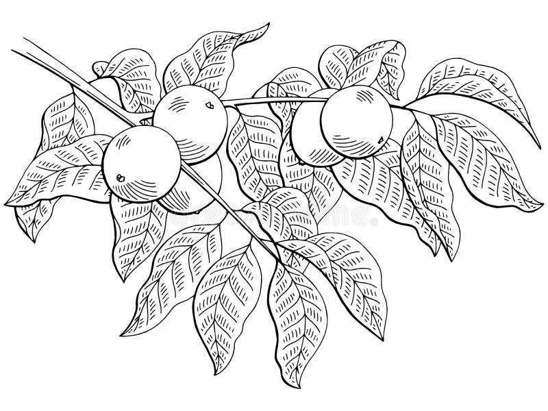 Orzech włoski grafiki gałąź czerni nakreślenia biała odosobniona ilustracja ilustracja wektor