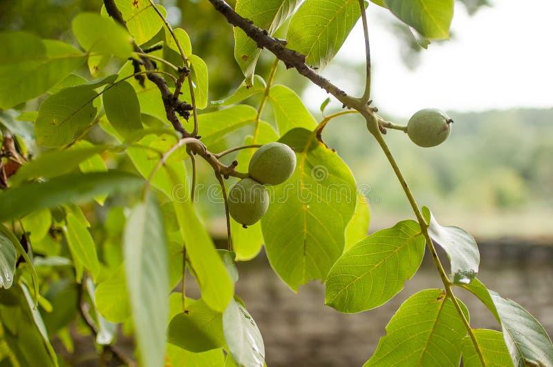 Orzech włoski owoc na drzewie Tło zieleni liście zdjęcie royalty free
