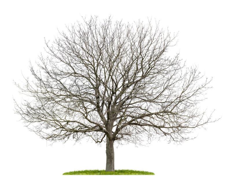 Orzecha włoskiego drzewo w zimie fotografia royalty free
