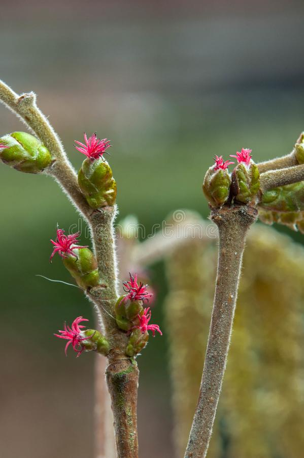 Orzechowy drzewo pokazuje swój pięknych kwiaty fotografia stock