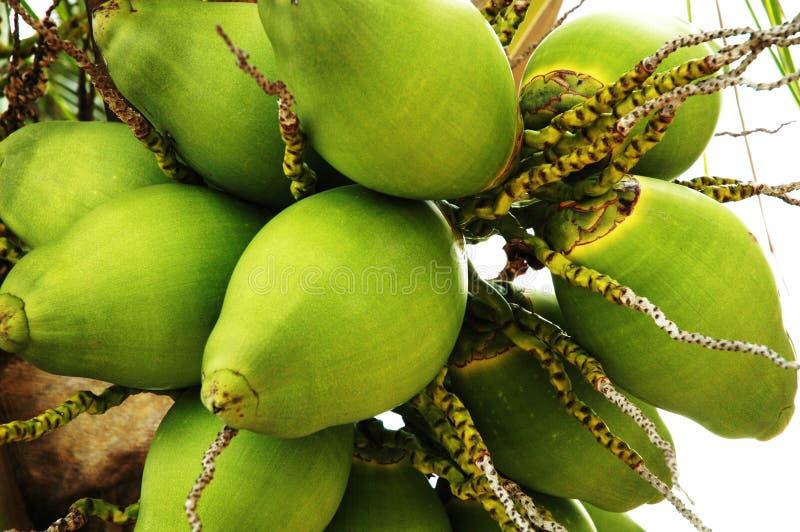 Download Orzechy kokosowe zdjęcie stock. Obraz złożonej z drzewo - 4651768
