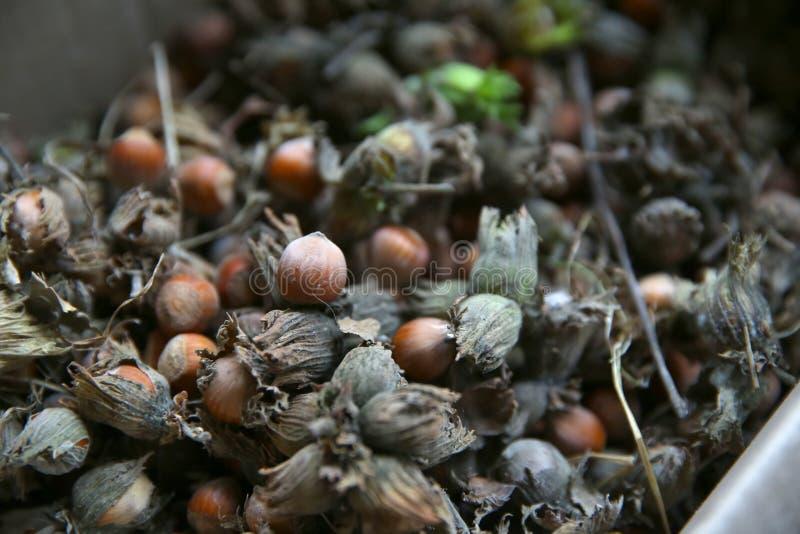 Orzechy leszczyny zielony orzech laskowy Organiczne i świeże orzechy laskowe na tle zdjęcia royalty free
