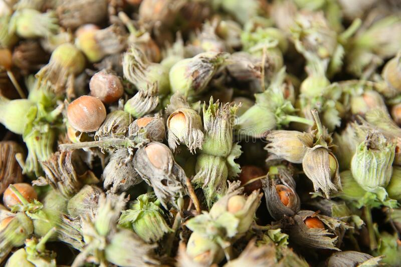 Orzechy leszczyny zielony orzech laskowy Organiczne i świeże orzechy laskowe na tle obraz royalty free