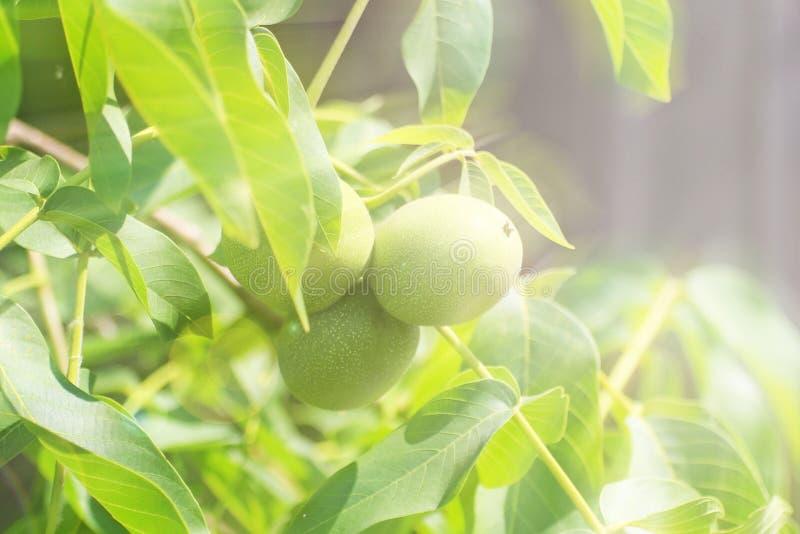Orzechy włoscy dojrzewa na drzewie wśród ulistnienia, ale wciąż zielenieją Źródło jarzynowa proteina i zdrowi sadło Funda dla dzi obraz stock