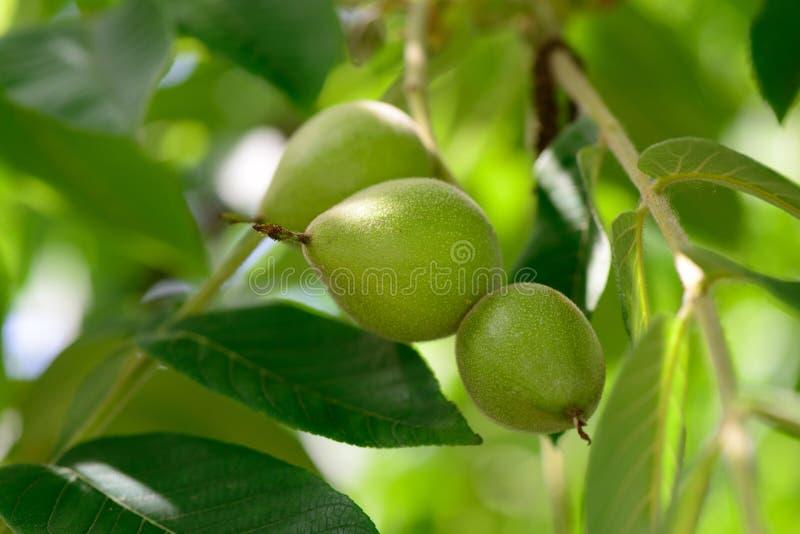 orzechy włoskie zielone fotografia stock