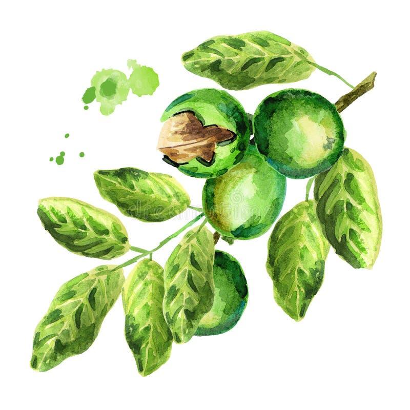 orzechy włoskie zielone gałąź akwarela royalty ilustracja