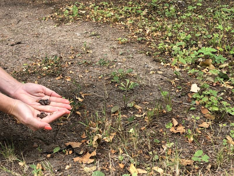 Orzechy w rękach kobiety Dziewczyna trzymająca ręce w orzechach Orzechy wiewiórcze Kopiuj miejsce obrazy stock