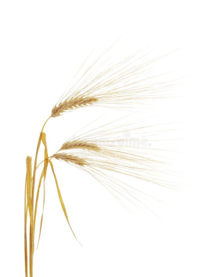 Download Orzo fotografia stock. Immagine di raccolto, piante, pianta - 3875250