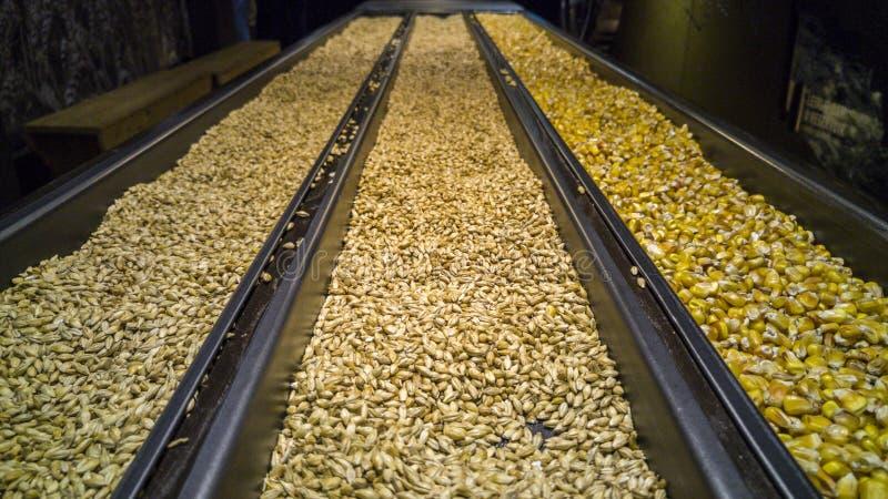 Orzo germinato e non maltato del cereale, fotografia stock libera da diritti
