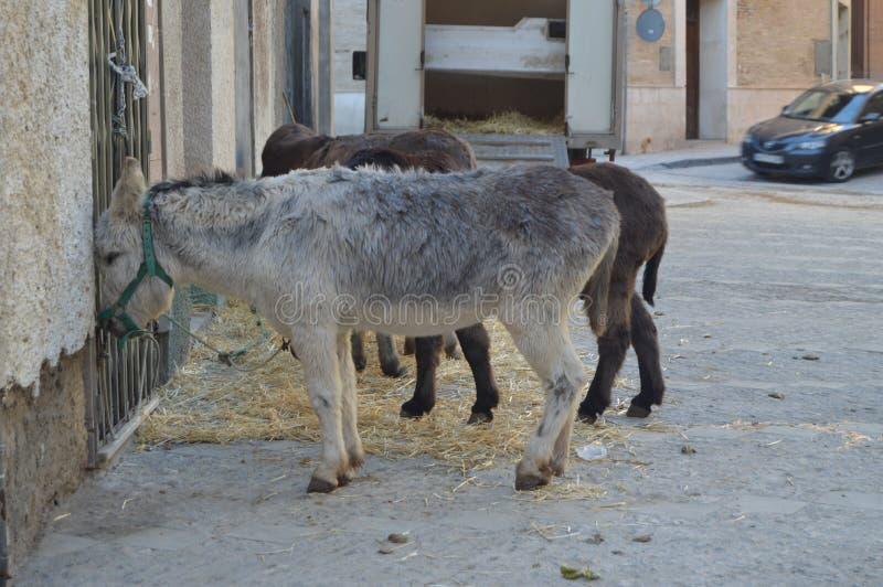 Osłów Przechodzić Przygotowywam Zaczynać Ich wycieczkę turysyczną Na ulicach Huesca Przy bożymi narodzeniami Huesca krajobrazy, n fotografia stock