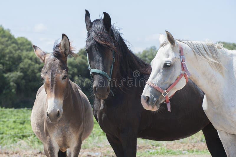 osłów konie dwa zdjęcia stock