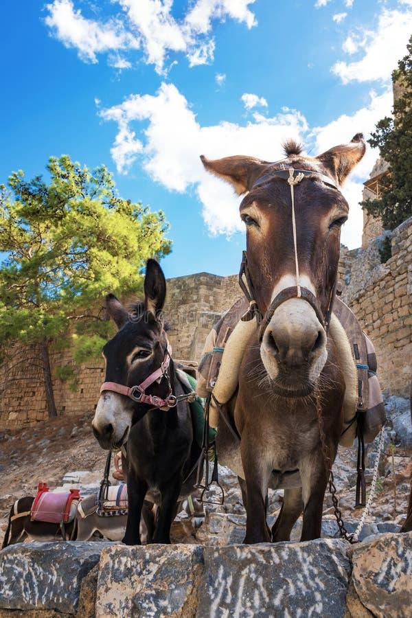 Osła taxi †'osły używać nieść turystów akropol L fotografia royalty free