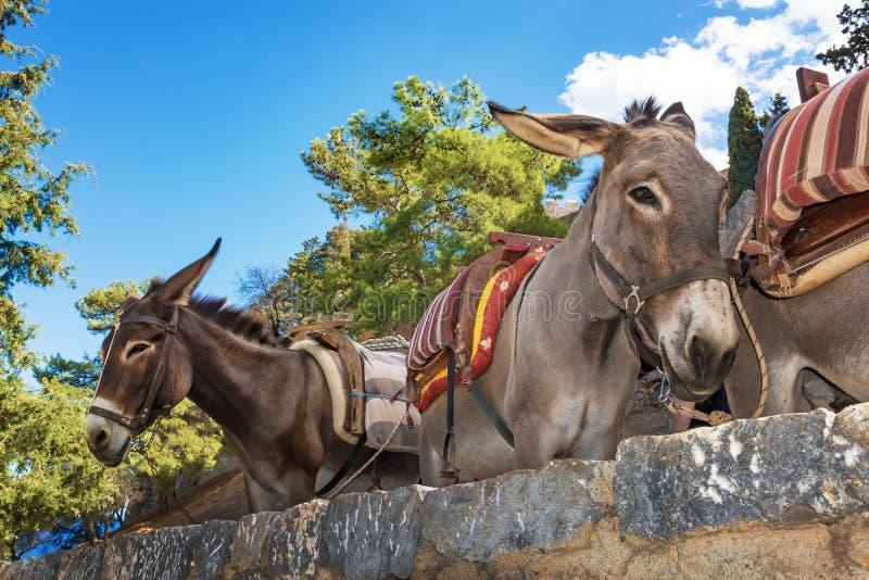 Osła taxi †'osły używać nieść turystów akropol L obraz royalty free