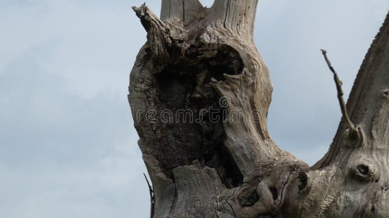 Osłupiały Dębowy drzewo Zamknięty W górę zdjęcie royalty free