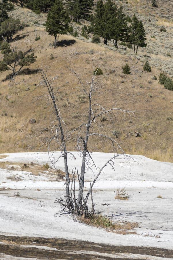 Osłupiałych drzew Mamutowe Gorące wiosny Yellowstone obraz stock