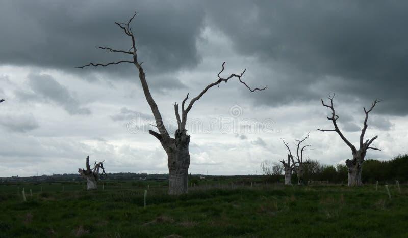 Osłupiali Dębowi drzewa Dosięga niebo obraz royalty free