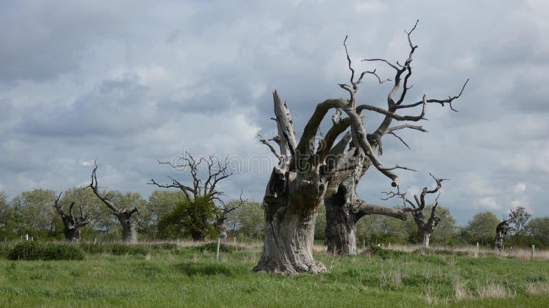 Osłupiali Dębowi drzewa Smutni & Osamotneni zdjęcia royalty free