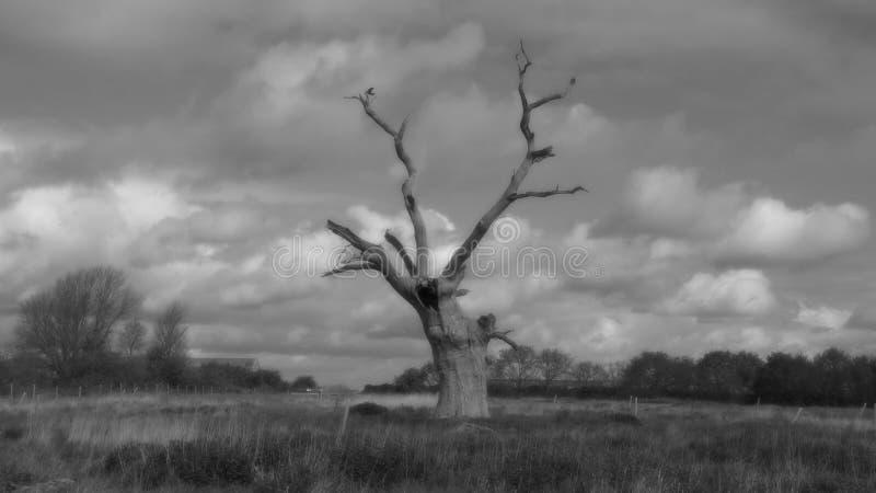Osłupiali Dębowi drzewa w Czarny I Biały obrazy stock