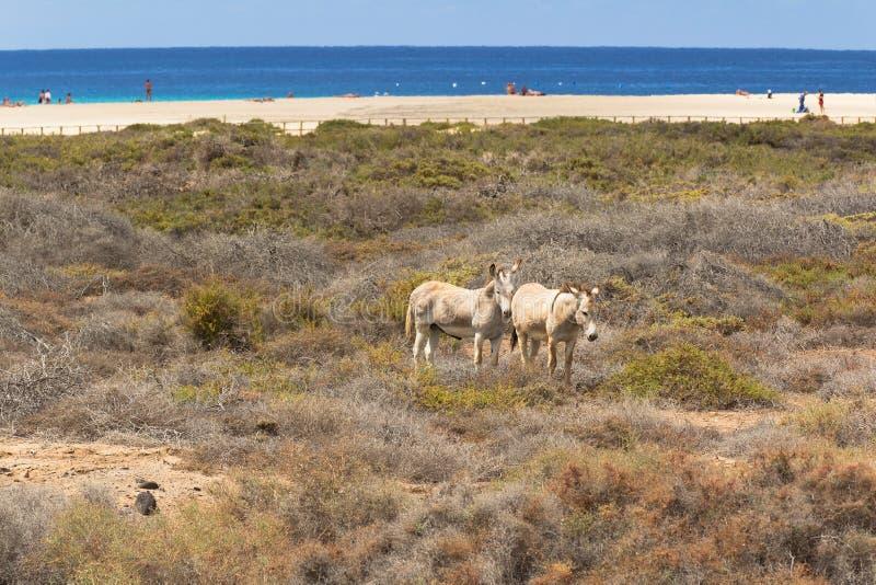Osły blisko plaży w Morro Jable, Fuerteventura wyspy kanaryjska fotografia royalty free
