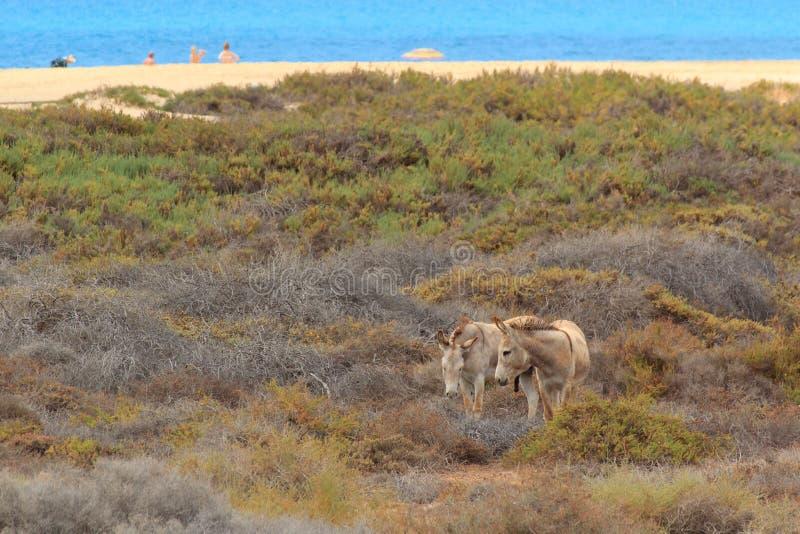 Osły blisko plaży w Morro Jable, Fuerteventura wyspy kanaryjska zdjęcie royalty free
