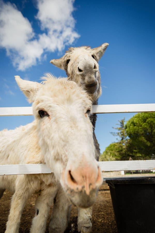 Osły jest pracownikami ochrony gospodarstwo rolne fotografia royalty free
