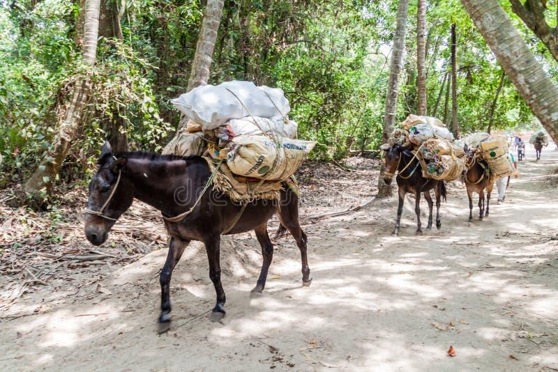 Osły odtransportowywają śmieci fotografia royalty free