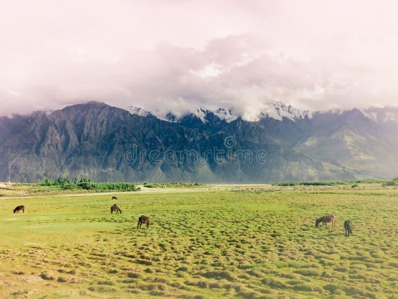 Osły przy soczystymi paśnikami Nubra dolina fotografia stock
