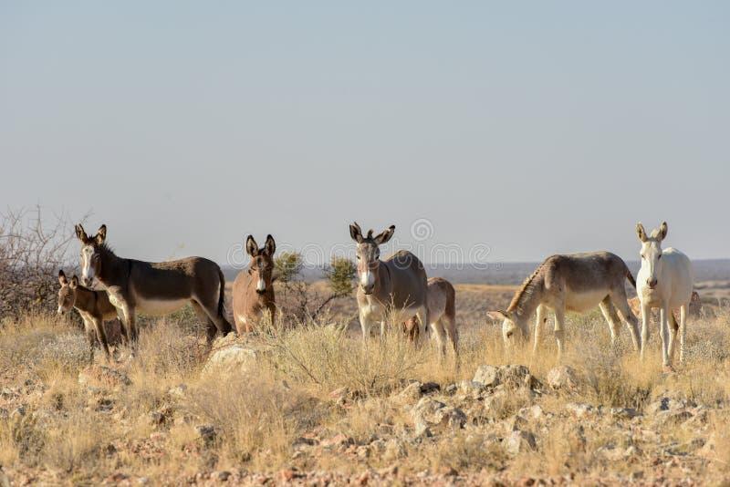 Osły w Namibia fotografia royalty free