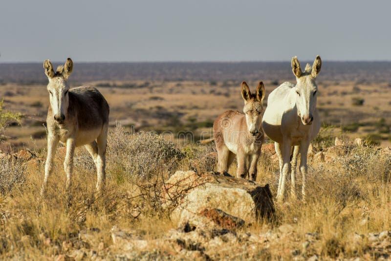 Osły w Namibia zdjęcie stock