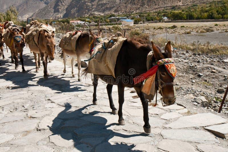 Osły w Nepal obraz royalty free