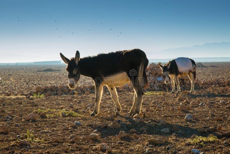 Osły w polu w Maroko zdjęcia stock