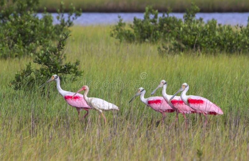 Os íbis brancos americanos (albus de Eudocimus) e spoonbills róseos (ajaja do Platalea) que forrageiam em um pântano fotos de stock royalty free