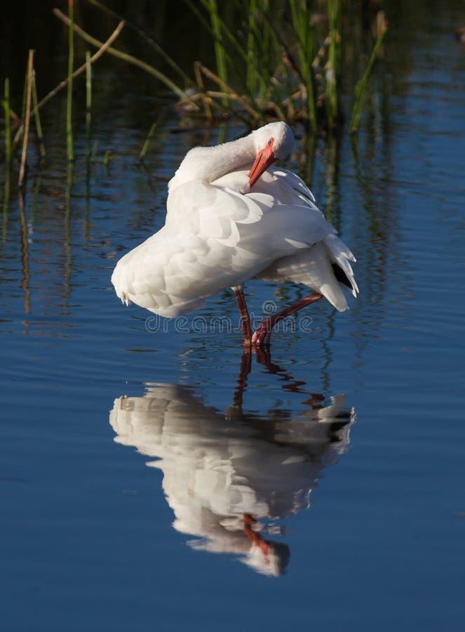 Os íbis brancos preens em sua própria reflexão imagem de stock