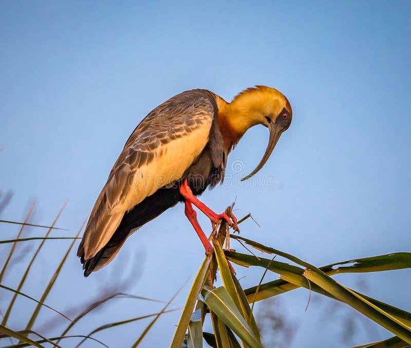 os íbis Lustre-necked empoleiraram-se no ramo superior na selva fotos de stock royalty free