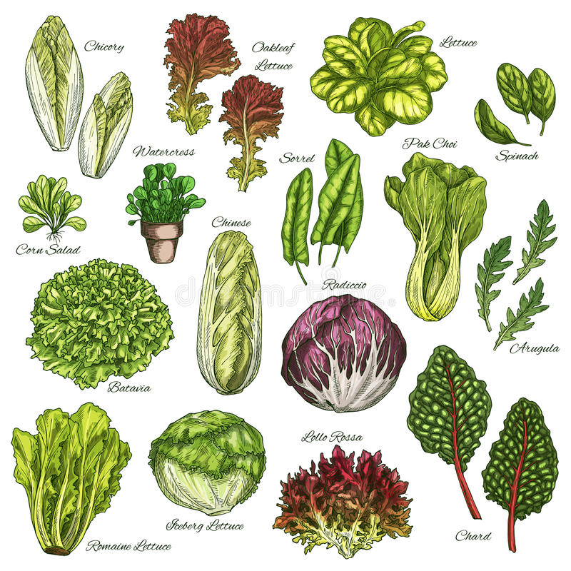 Os ícones do esboço do vetor ajustaram-se de legumes com folhas das saladas ilustração royalty free
