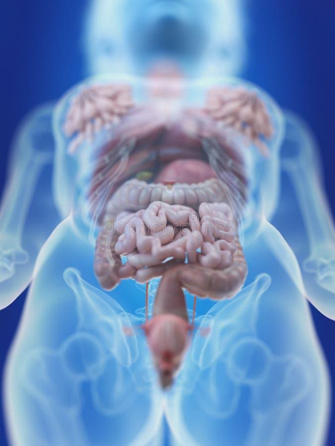 Os órgãos abdominais de uma mulher ilustração royalty free