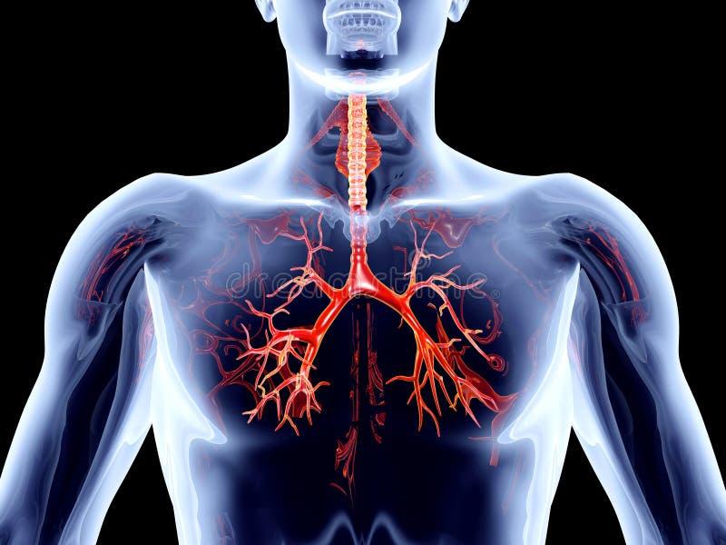 Órgãos internos - artérias brônquicas ilustração royalty free