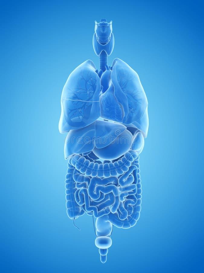 Os órgãos humanos ilustração royalty free