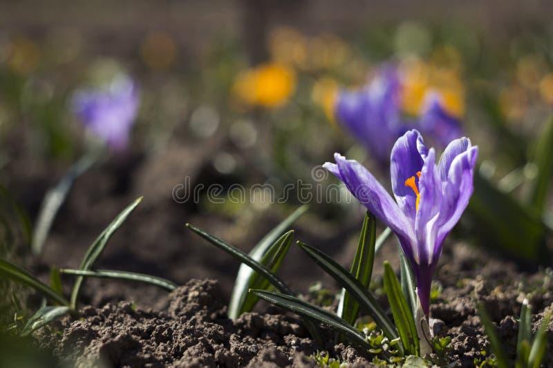 Os açafrões lilás bonitos florescem no jardim, nos açafrões amarelos e brancos do fundo A mola floresce o fundo imagem de stock royalty free